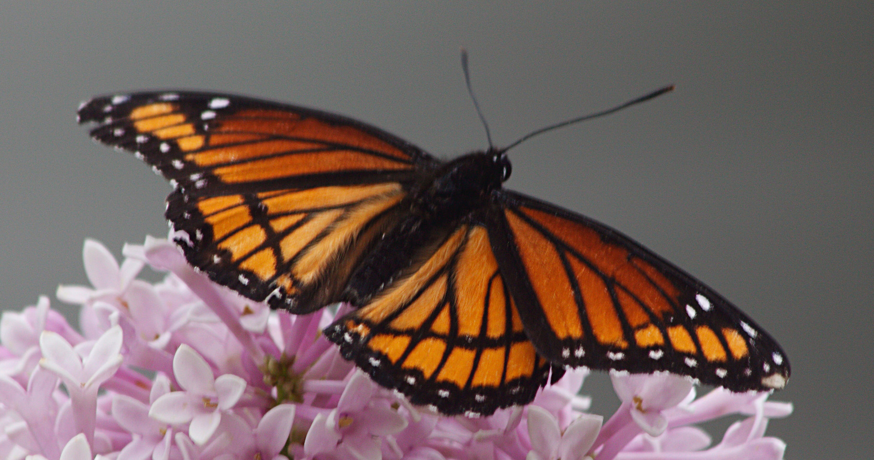 Another Viceroy
