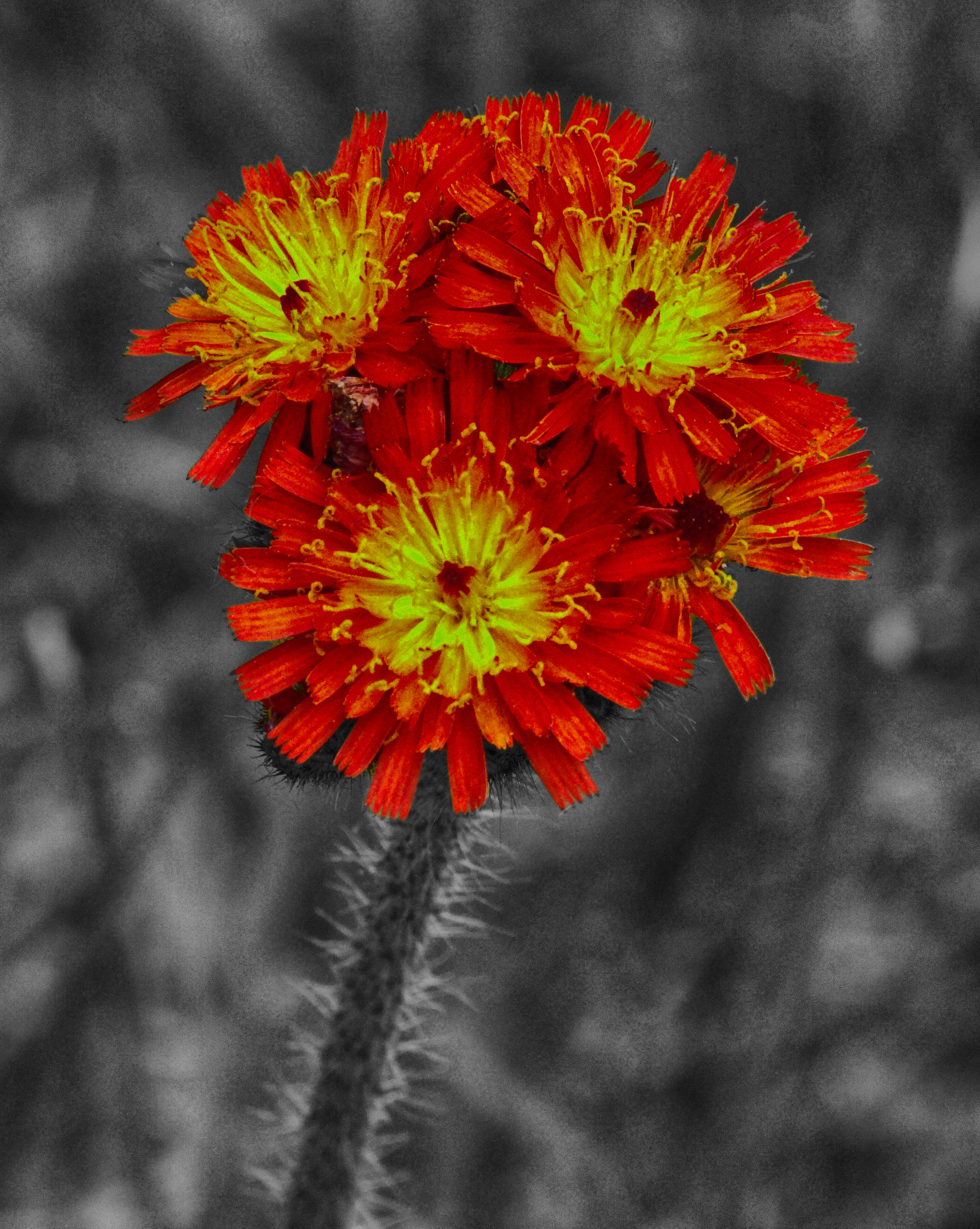 2009_06_10_1179 Orange Hawkweed CrLeCe Bwb_HDR