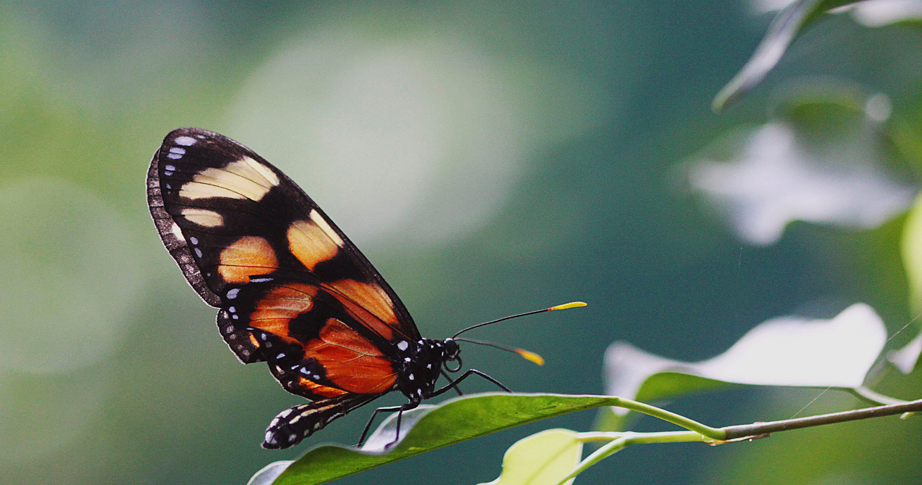 A Spotted Amberwing