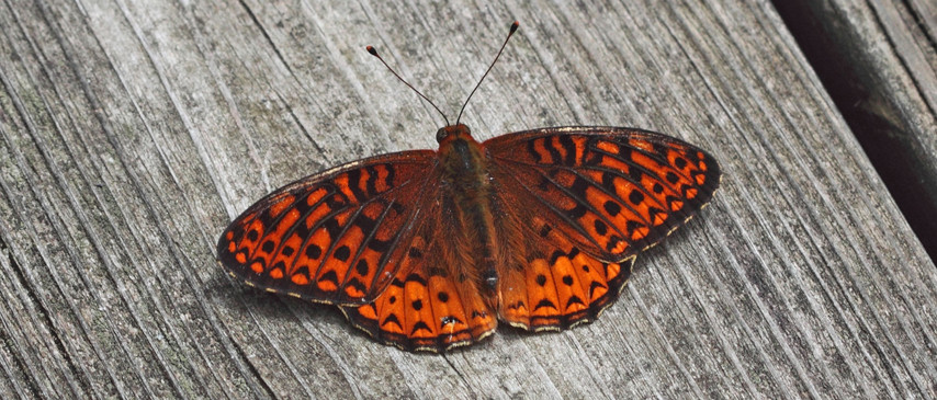 A Fritillary On Wood