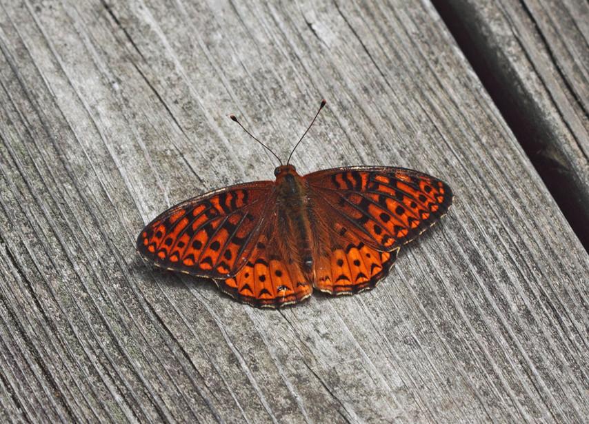 A Fritillary On Wood