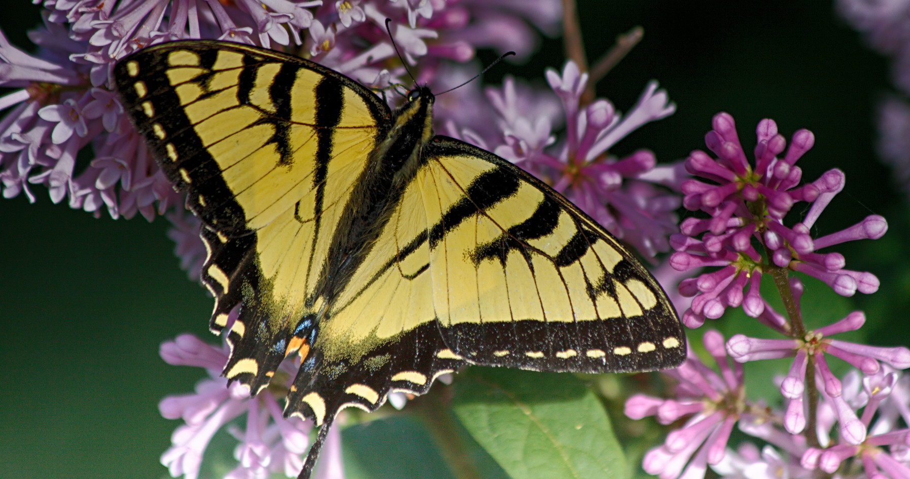 A Tiger Swallowtail Up Close