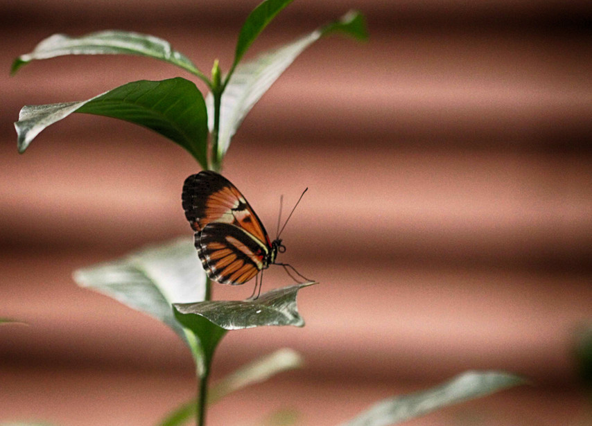 A Longwing In Profile