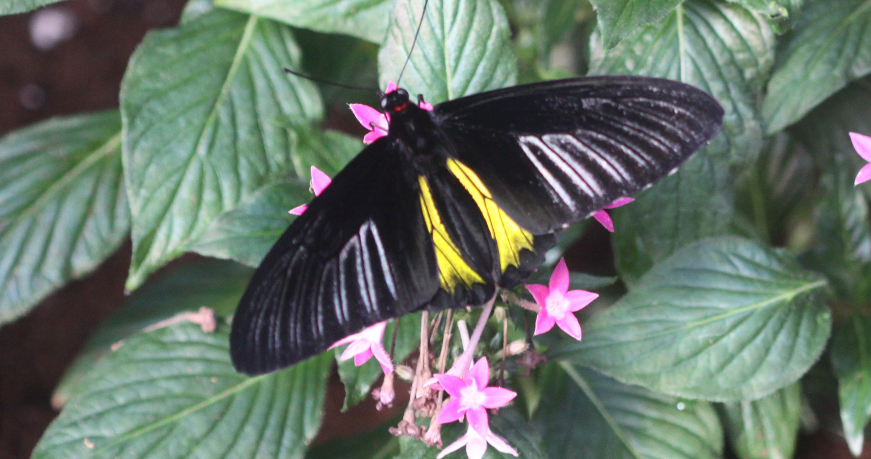 A Common Birdwing