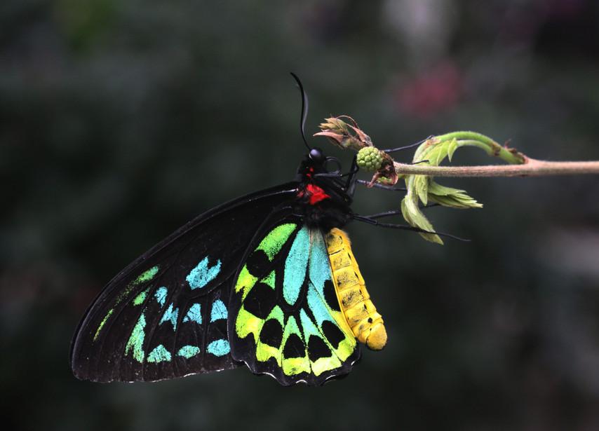 A Cairn's Birdwing