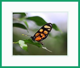 Spotted Amberwing Butterflies