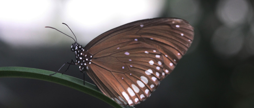 A Crow Butterfly