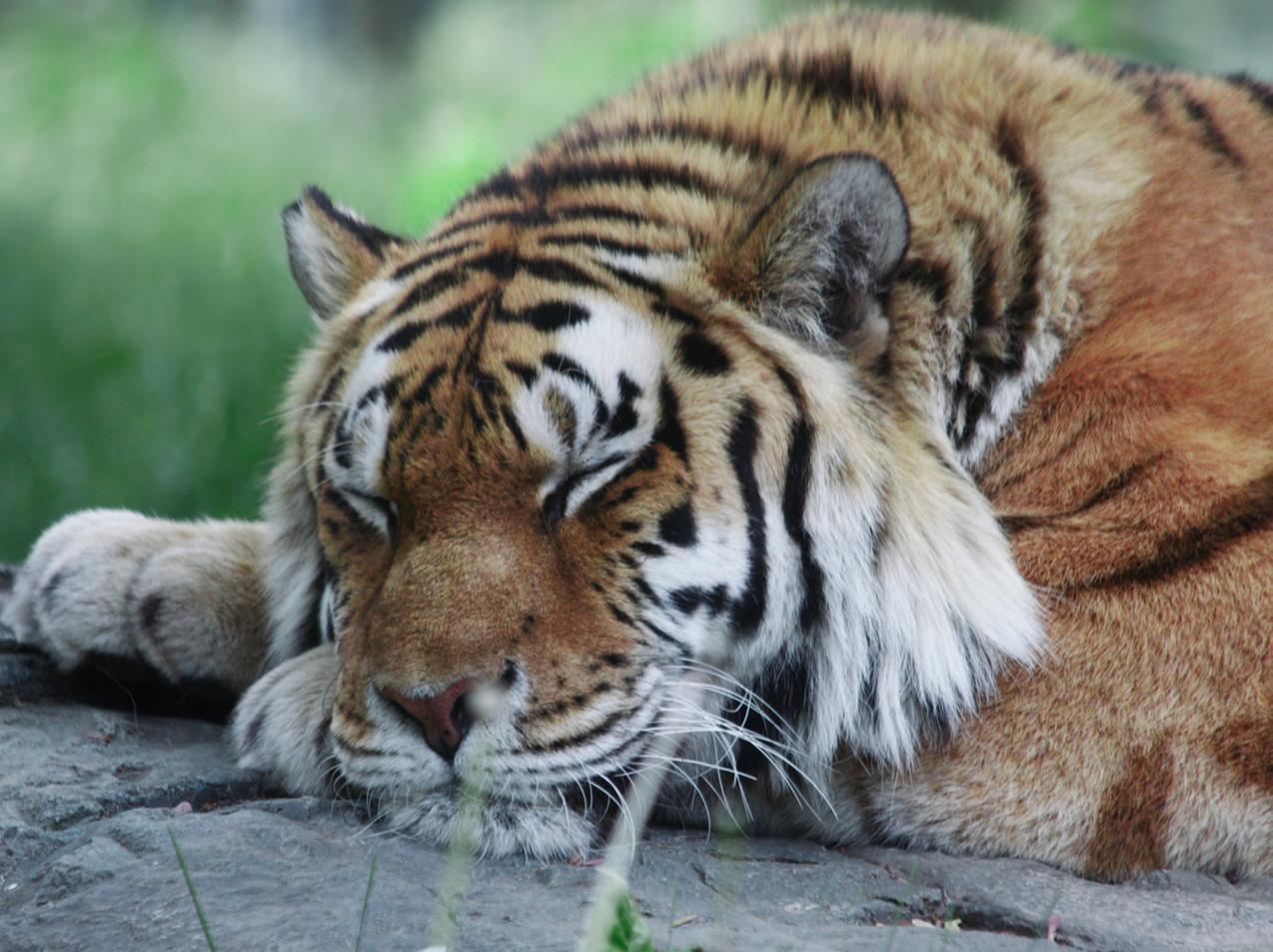 A Sleepy Bengal