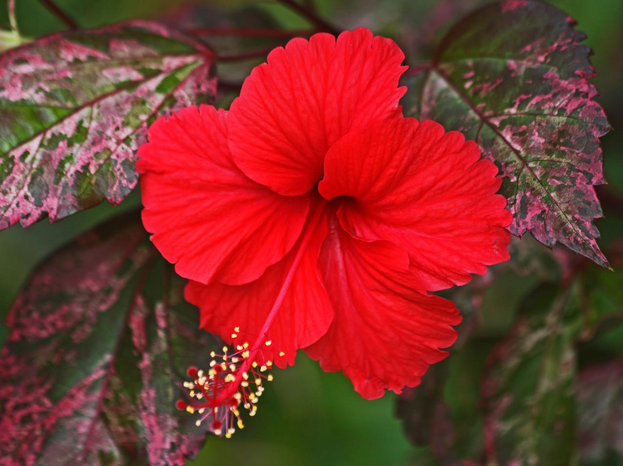 Hybiscus Rosa Sinesis