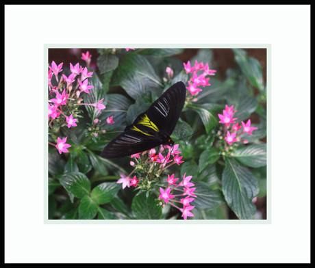 Common Birdwings