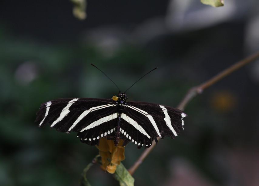 A Handsome Zebra