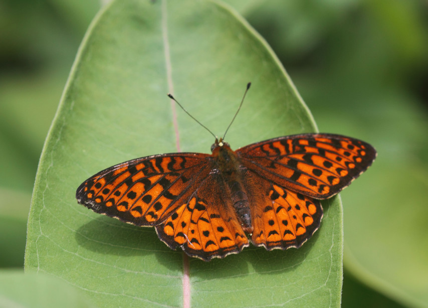 A Handsome Fritillary