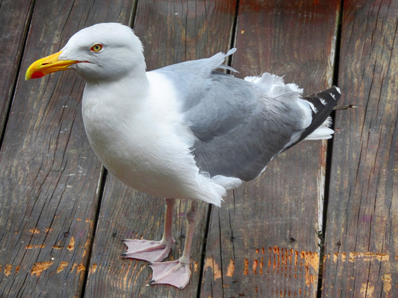 A Boston Gull
