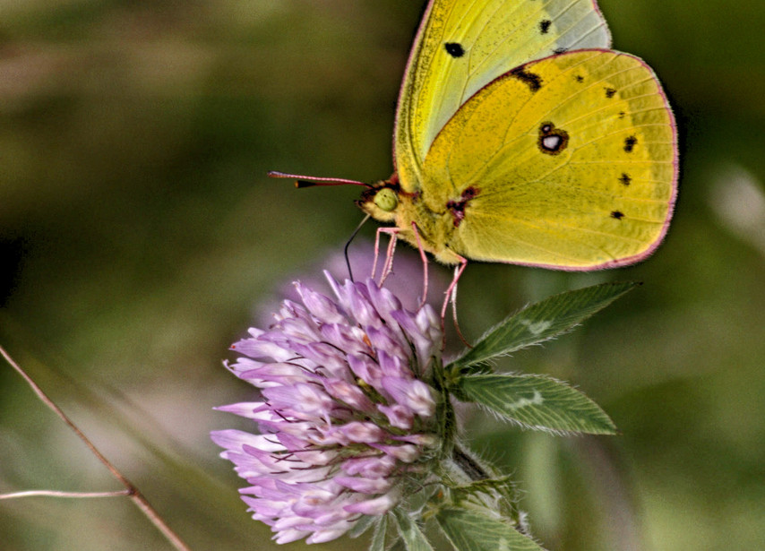 The Sulphur Butterfly