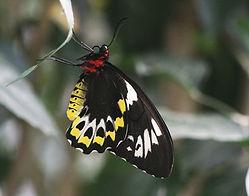 Cairn'r Birdwings