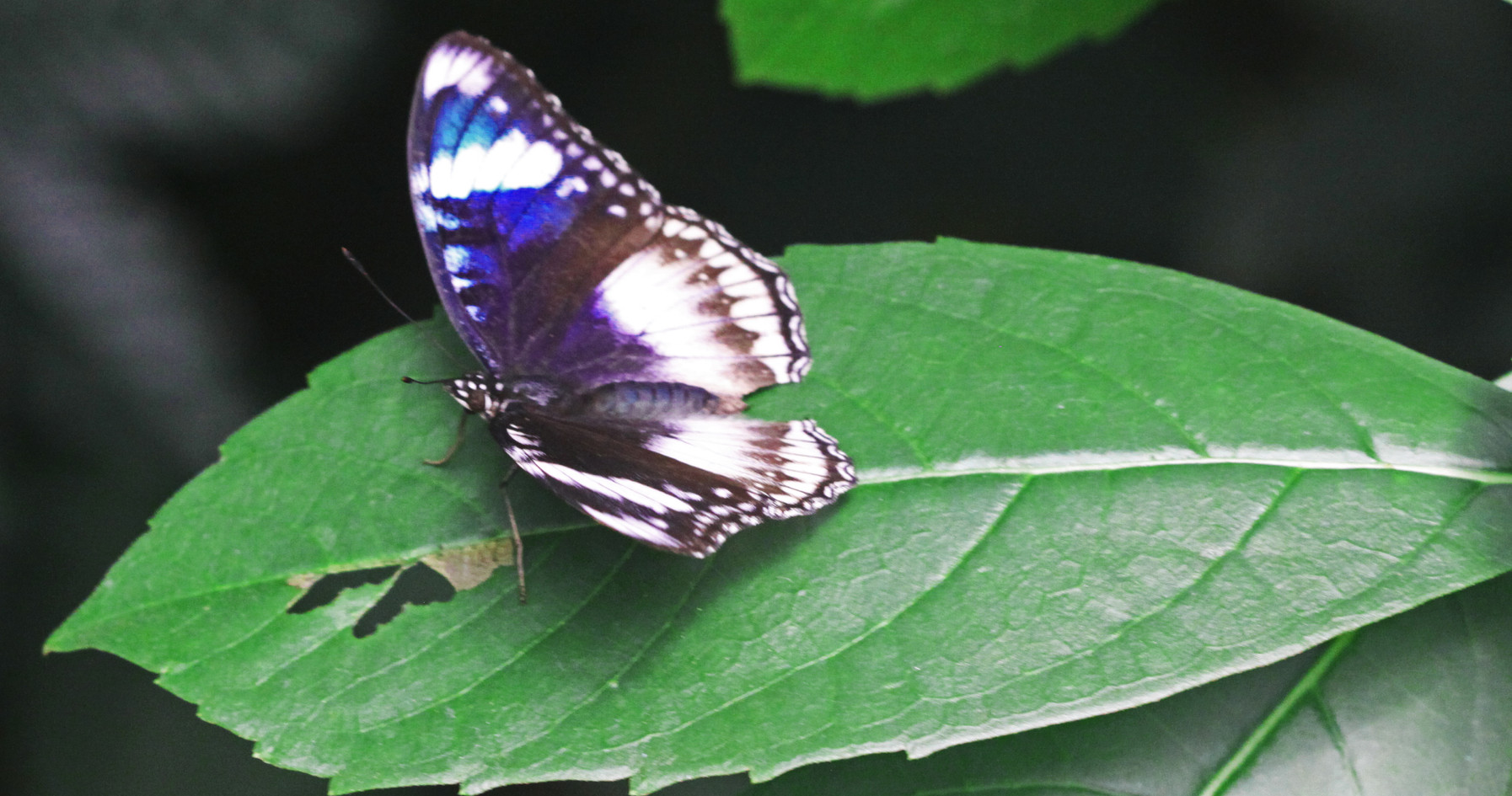 A Female Eggfly