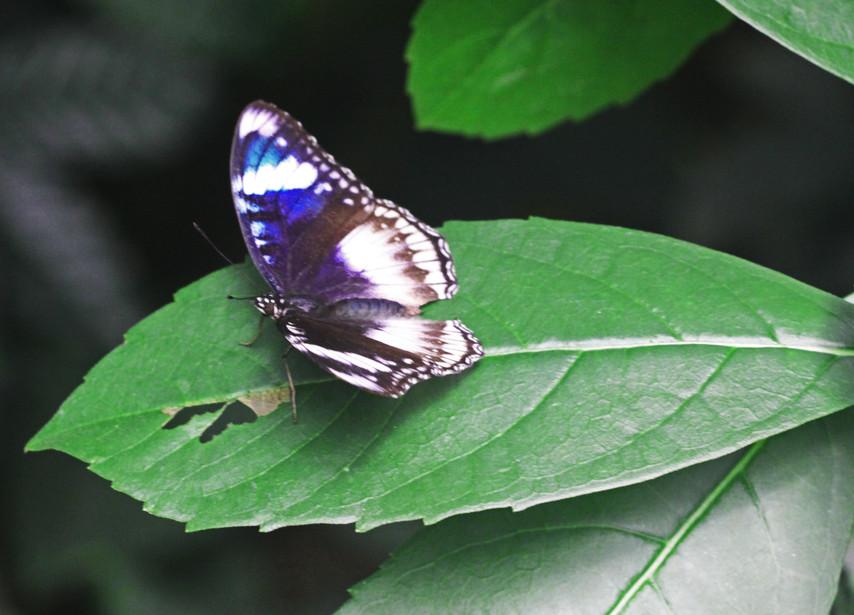 A Female Eggfly