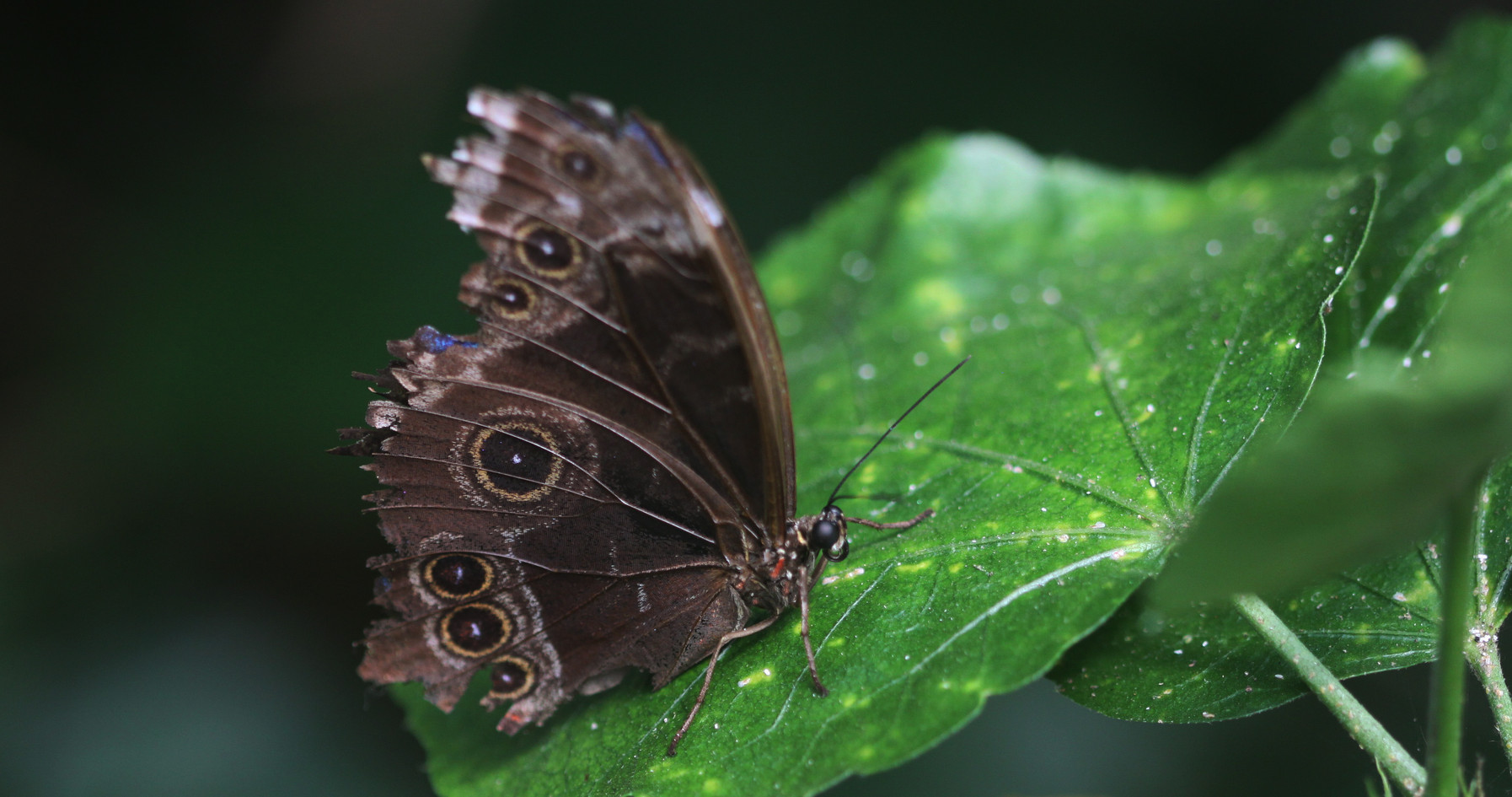 An Old And Grizzled Morpho