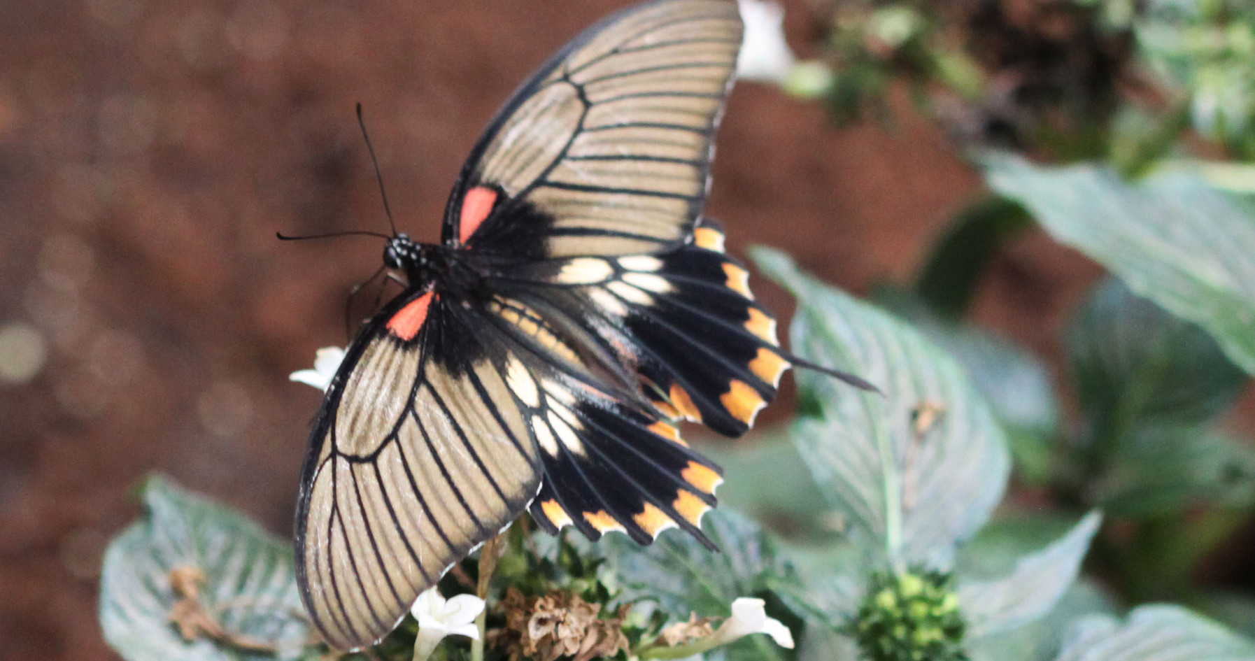 A Great Yellow Mormon