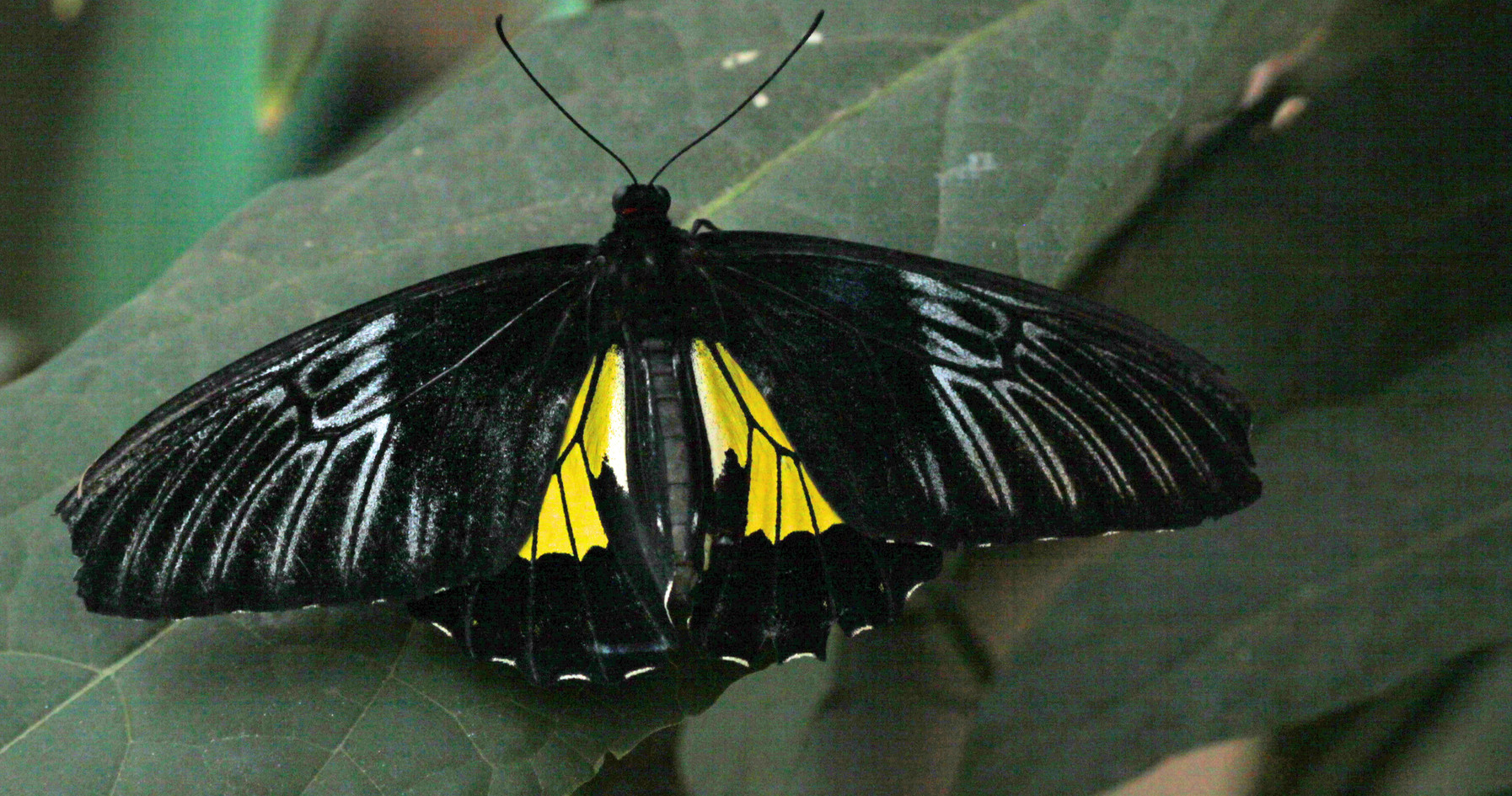 Another Golden Birdwing