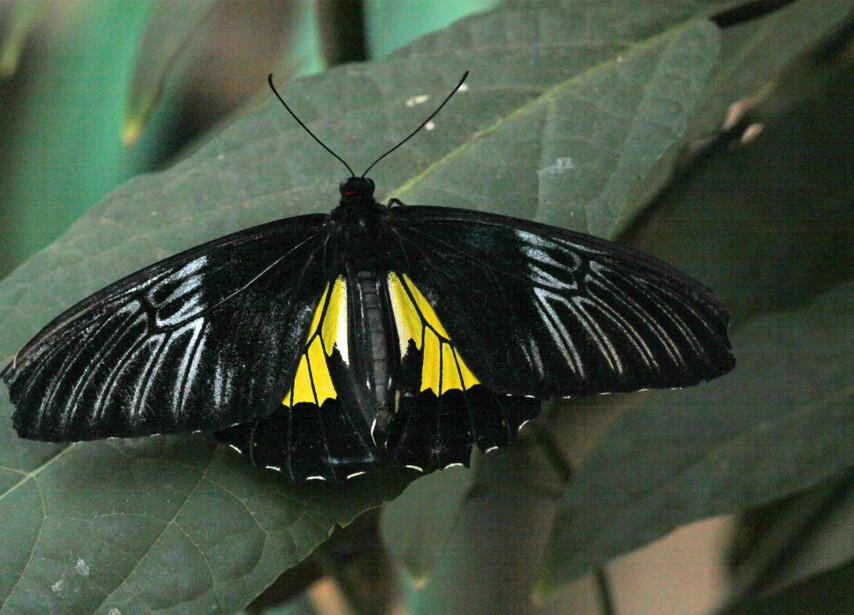 Another Golden Birdwing