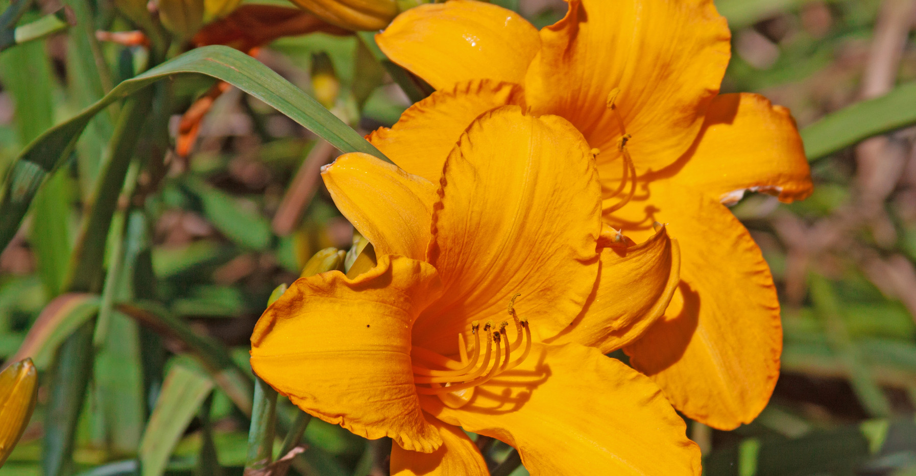 Two Yellow Lilies
