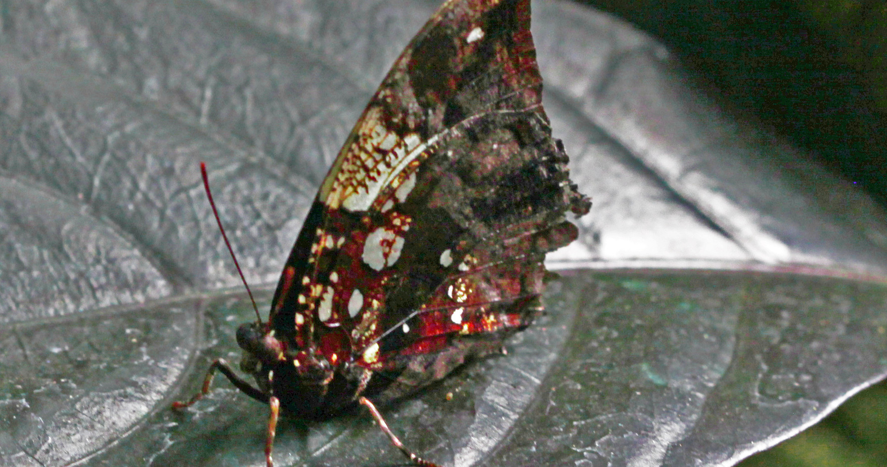 A Studded Leafwing