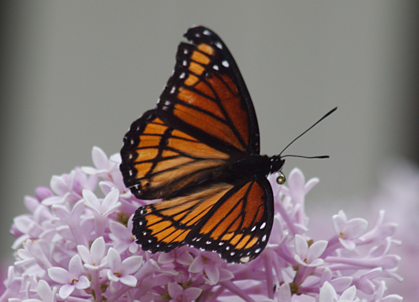 A Dorsal Side Viceroy