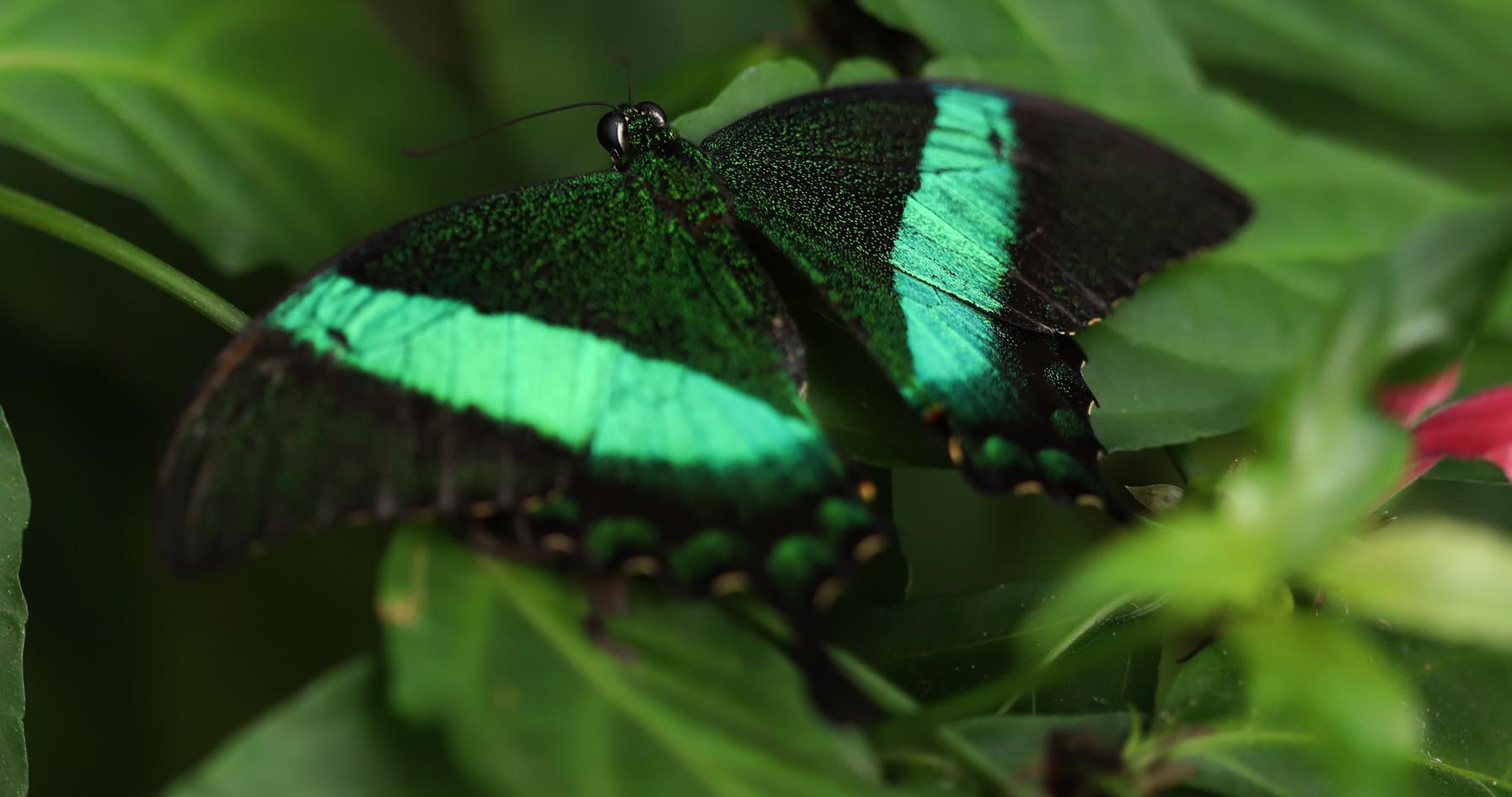 An Emerald Swallowtail