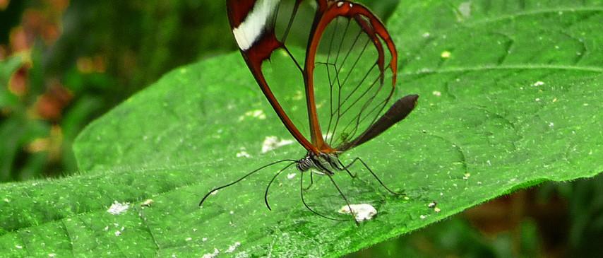 Amazing Glasswing