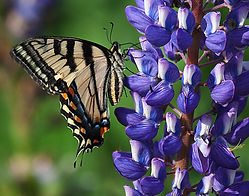 An Eastern Tiger Swallowtail