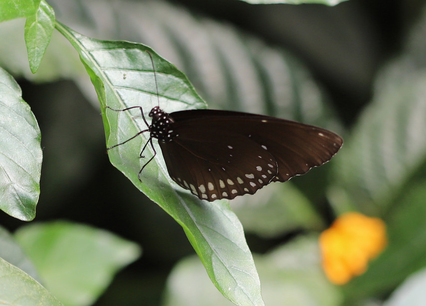 Crow Butterflies