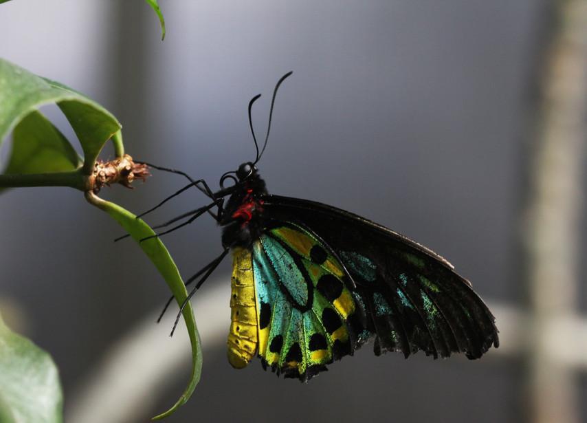 A Beautiful Birdwing