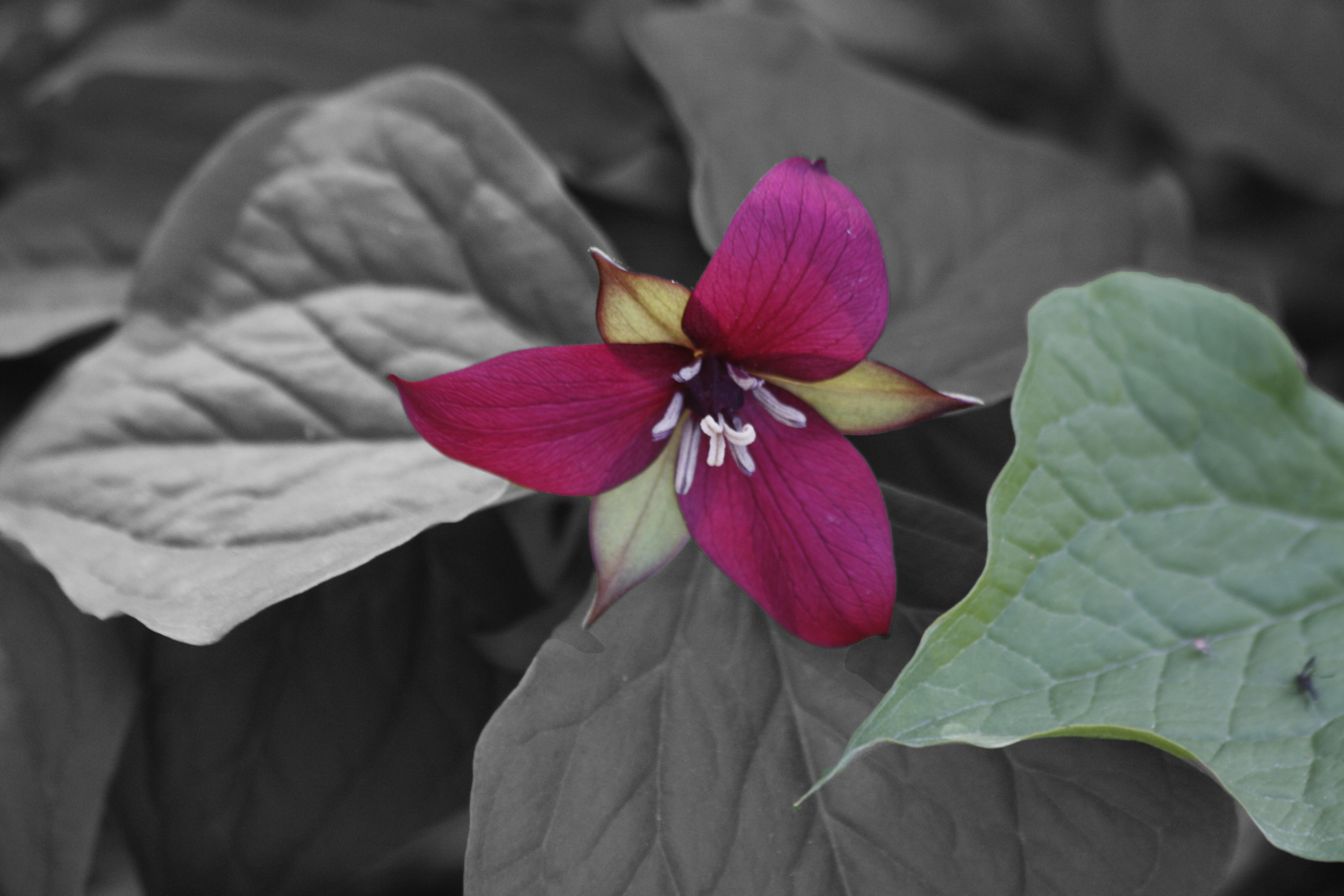 A Scarlet Trillium Hybrid