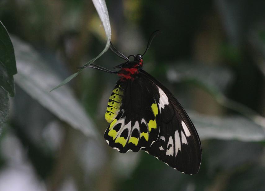 A Cairns Birdwing Lady