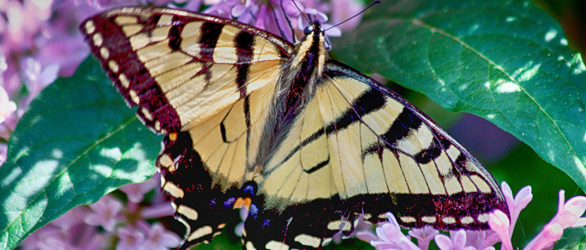 A Swallowtail Absorbing Heat