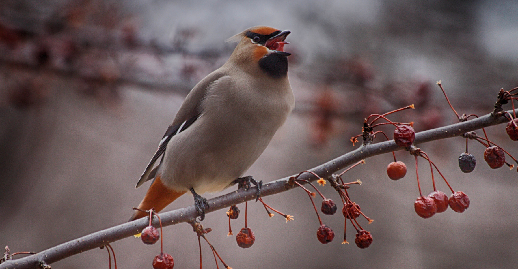 A Vocal Waxwing