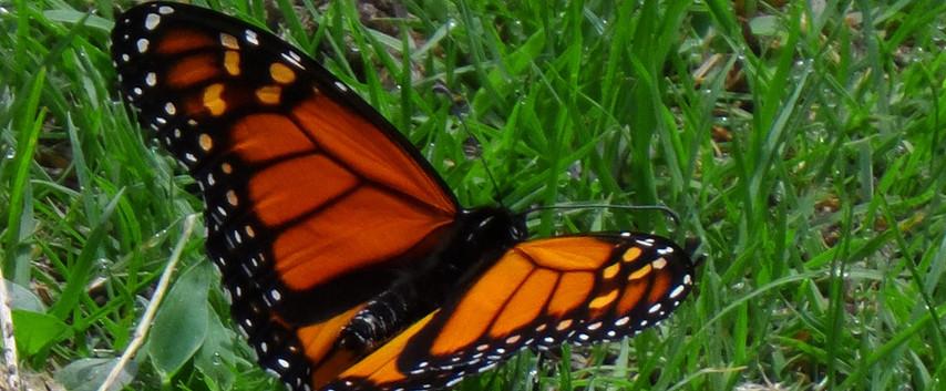 A Monarch Dorsal View