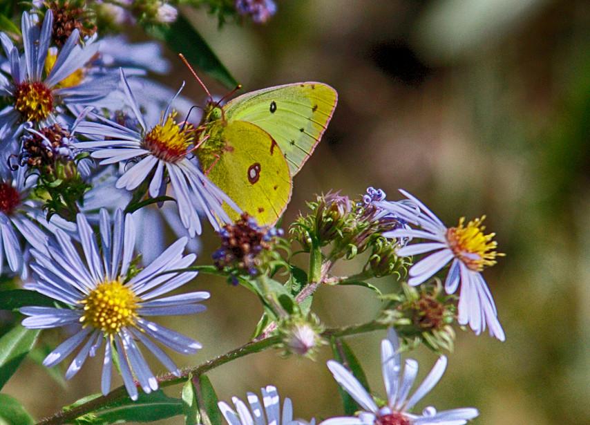 A Sulphur In The Petals