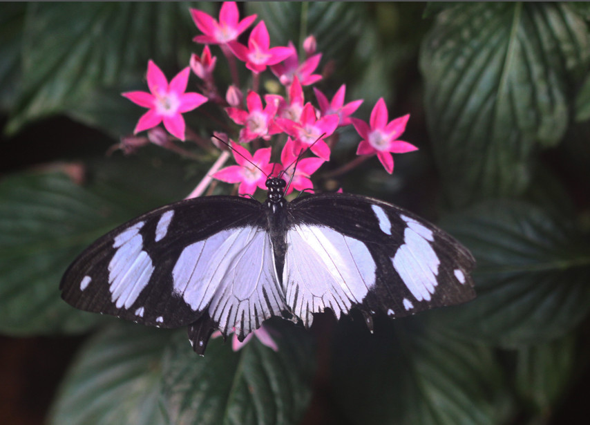 Mocker Swallowtail (Dorsal side)