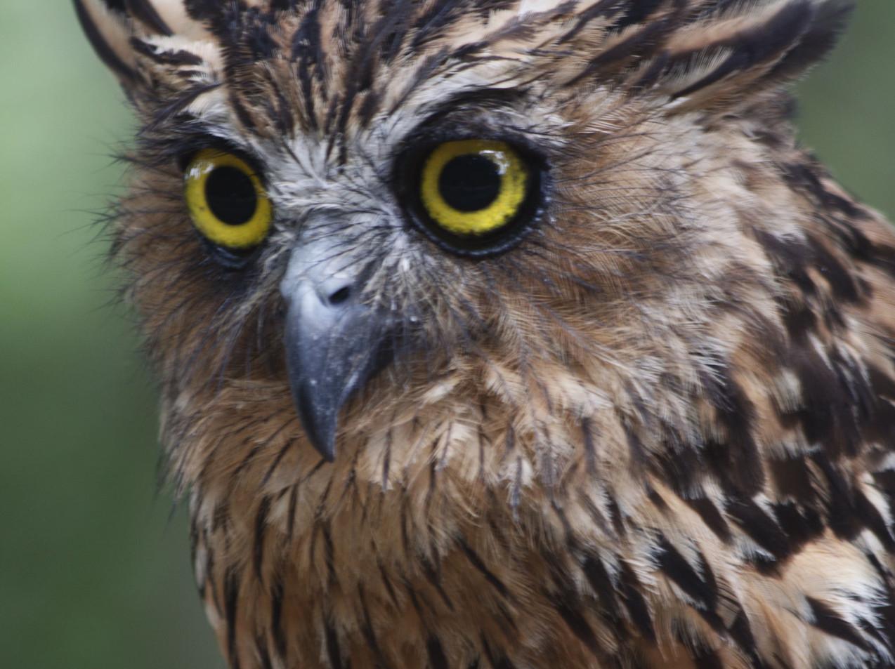 A Philippine Owl