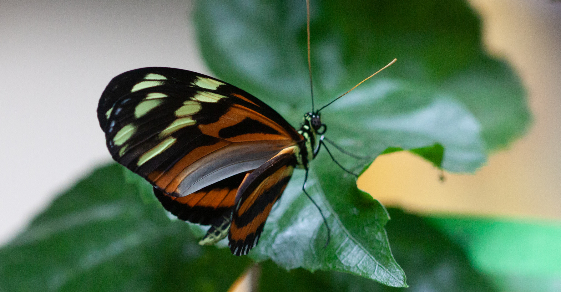 A Tiger Longwing