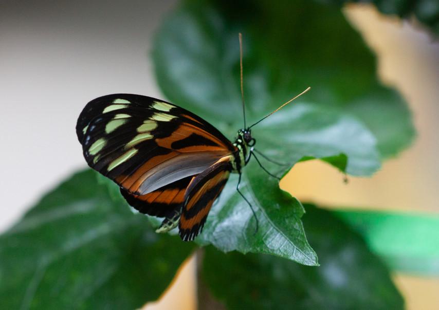 Mr. Tiger Wing