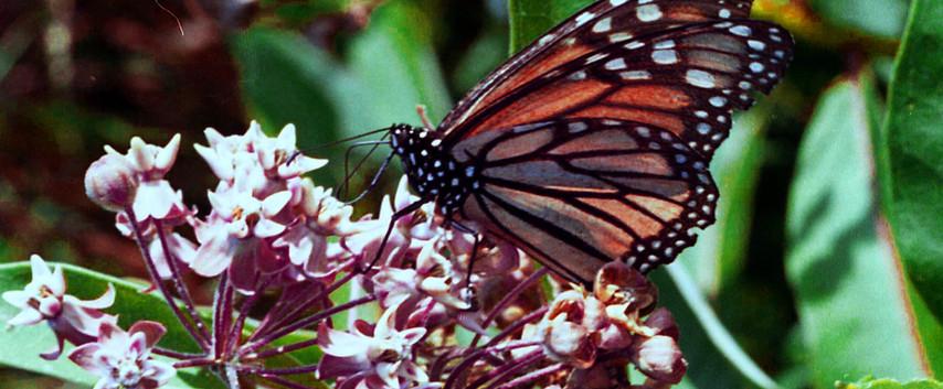A Beautiful Monarch