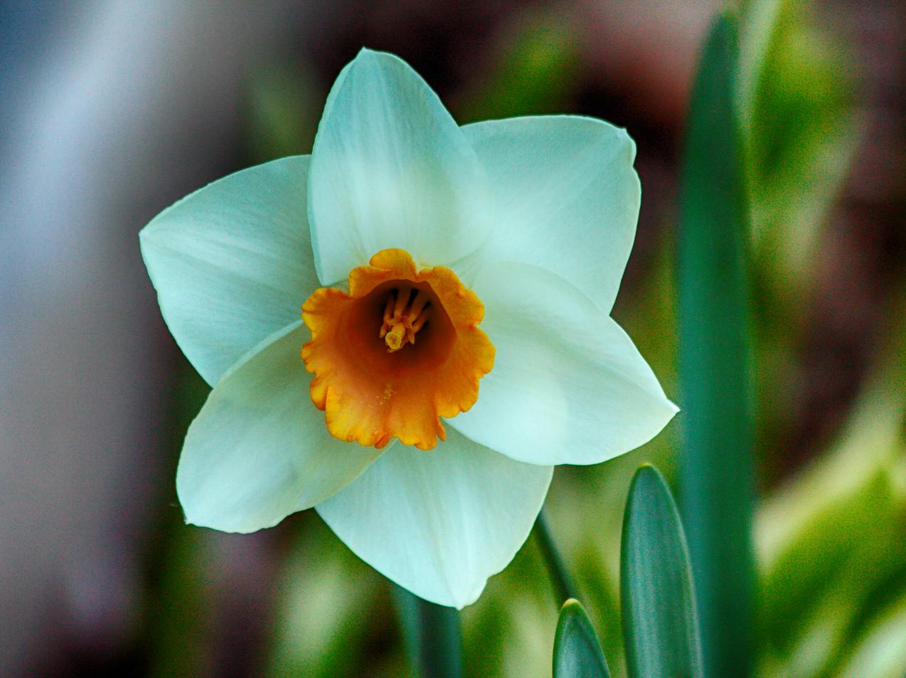 White and Yellow Daffodi