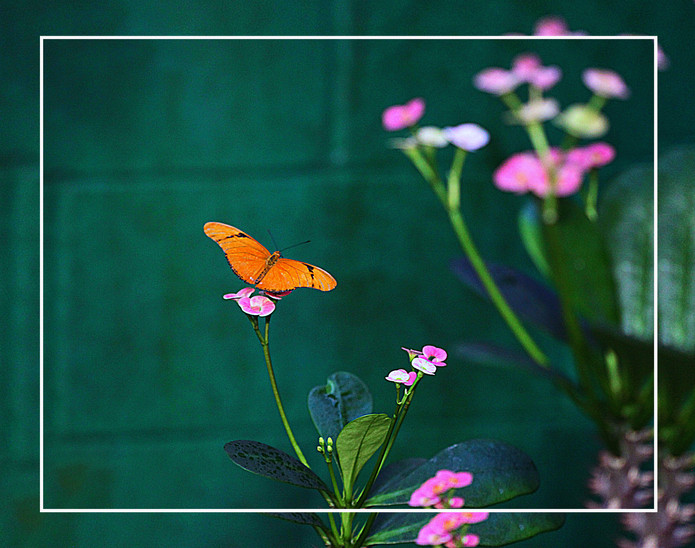 A Julia Butterfly
