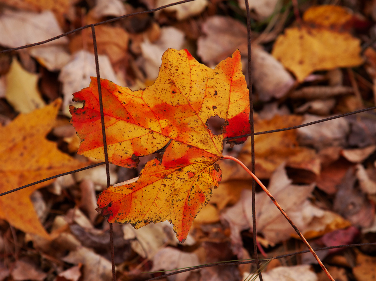 A Leaf In The Fence