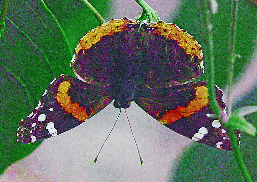 A Red Admiral (dorsal dide)