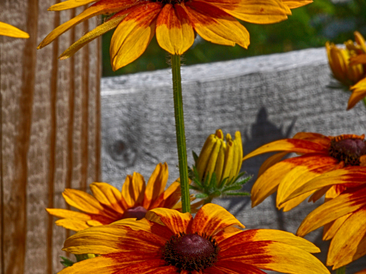 Vertical Coreopsis