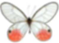 transparent-butterfly-images-17.png
